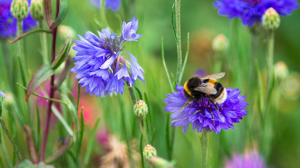 30 Days Wild: bees pollinating wild flowers